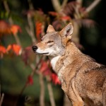 One of the rare red wolves!